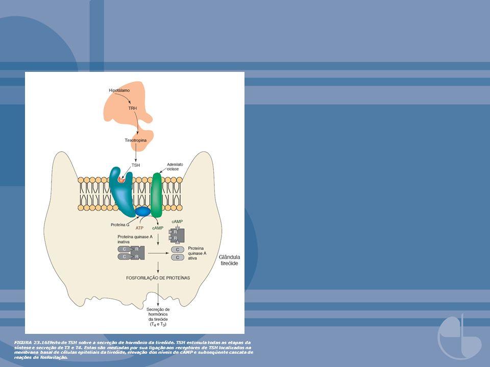 FIGURA 23. 16Efeito de TSH sobre a secreção de hormônio da tireóide