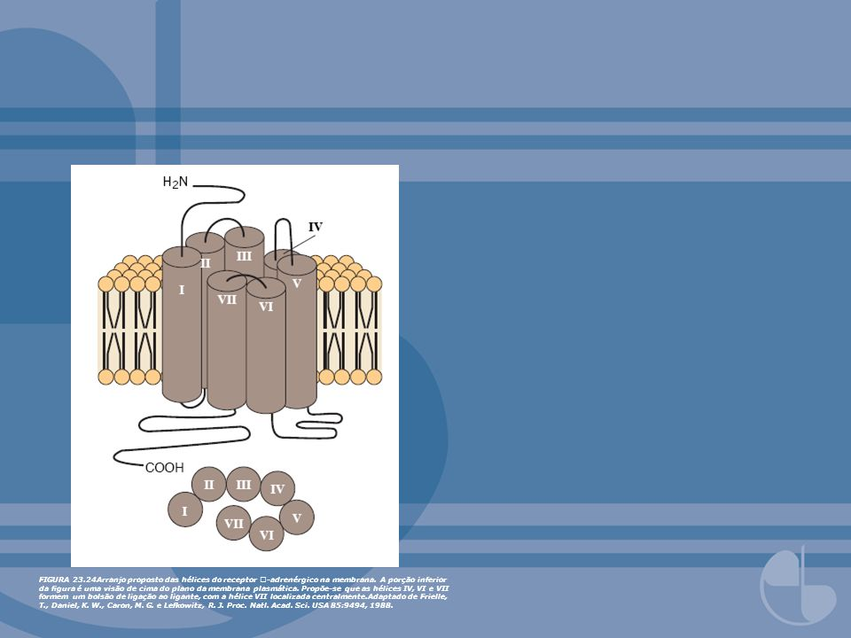 FIGURA 23.24Arranjo proposto das hélices do receptor -adrenérgico na membrana.