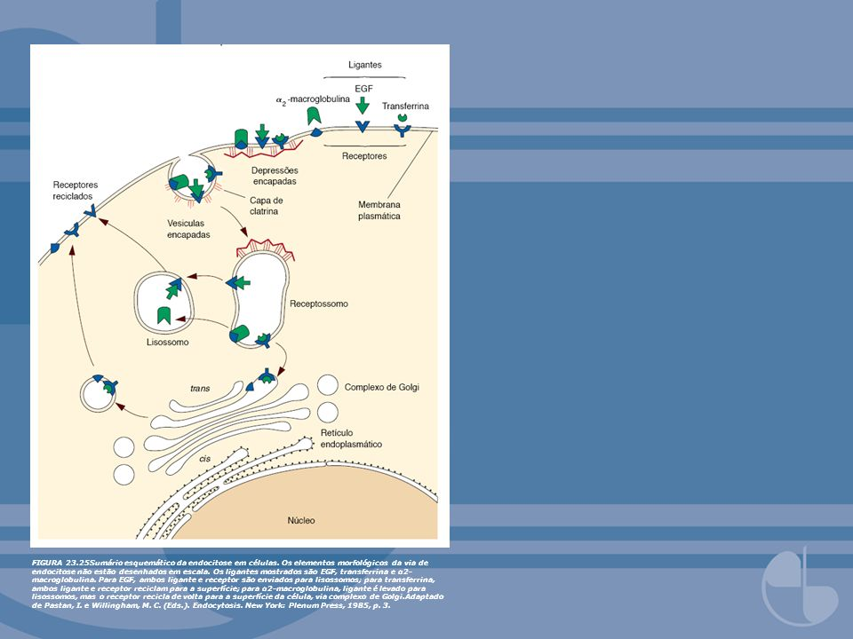FIGURA 23. 25Sumário esquemático da endocitose em células