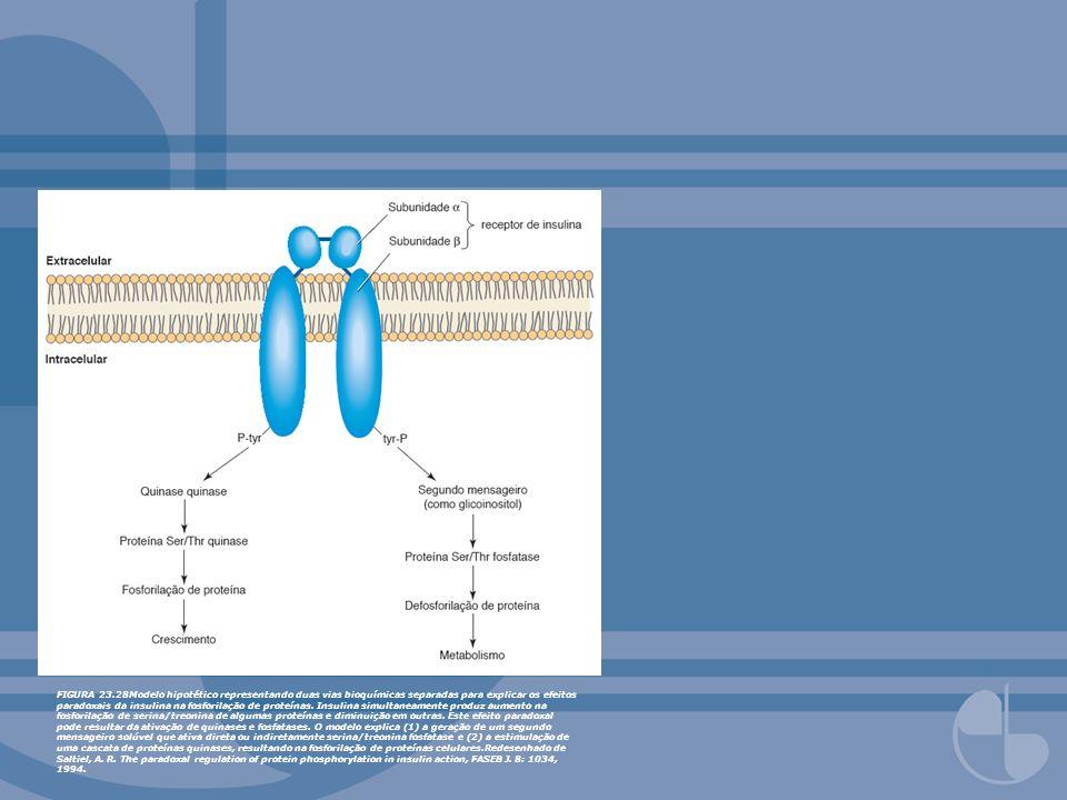 FIGURA 23.28Modelo hipotético representando duas vias bioquímicas separadas para explicar os efeitos paradoxais da insulina na fosforilação de proteínas.