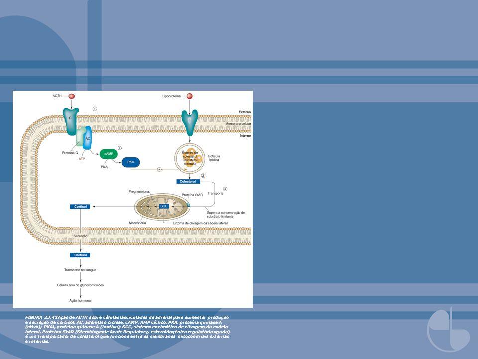 FIGURA 23.42Ação de ACTH sobre células fasciculadas da adrenal para aumentar produção e secreção de cortisol.