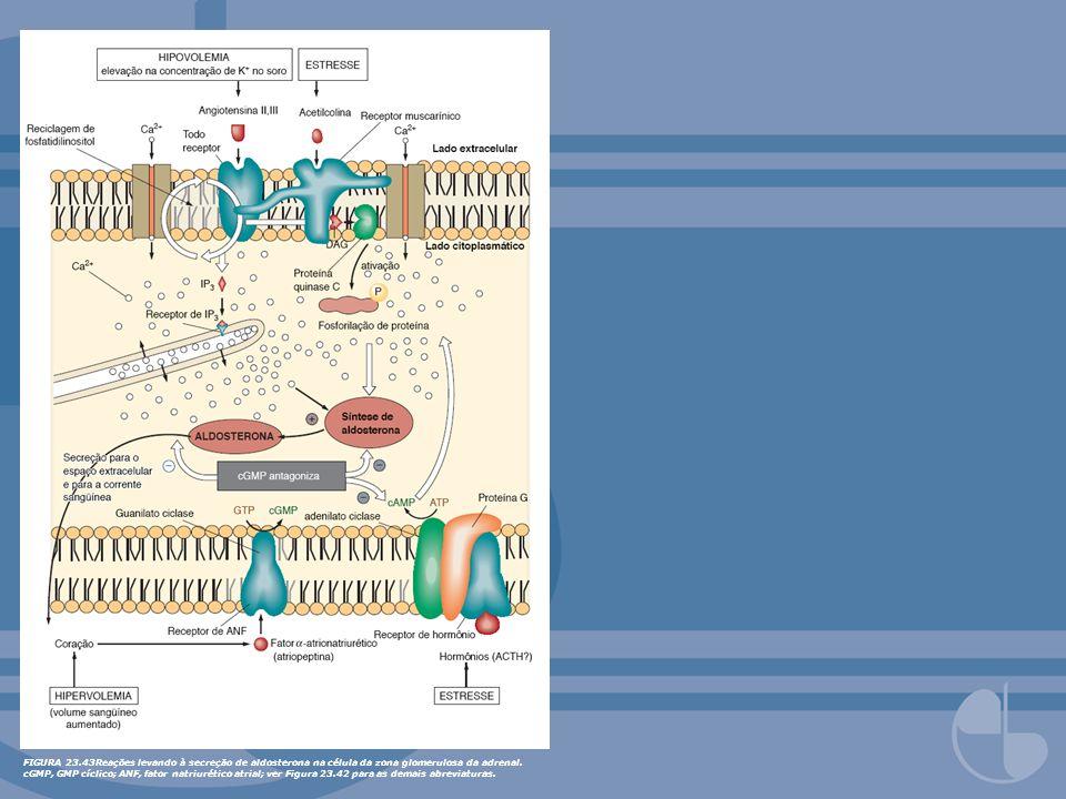 FIGURA 23.43Reações levando à secreção de aldosterona na célula da zona glomerulosa da adrenal.