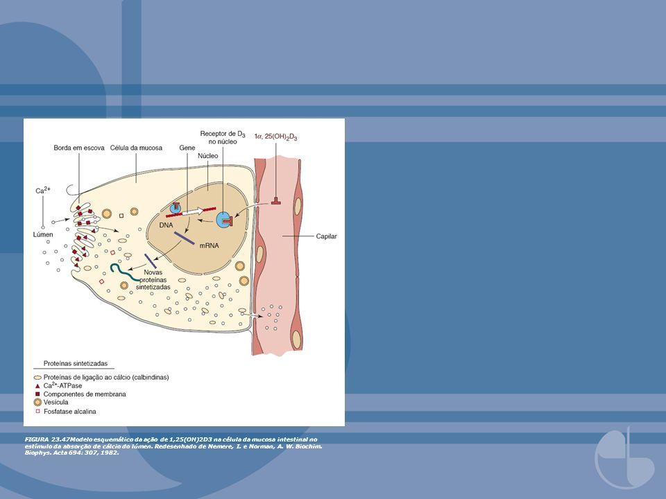 FIGURA 23.47Modelo esquemático da ação de 1,25(OH)2D3 na célula da mucosa intestinal no estímulo da absorção de cálcio do lúmen.