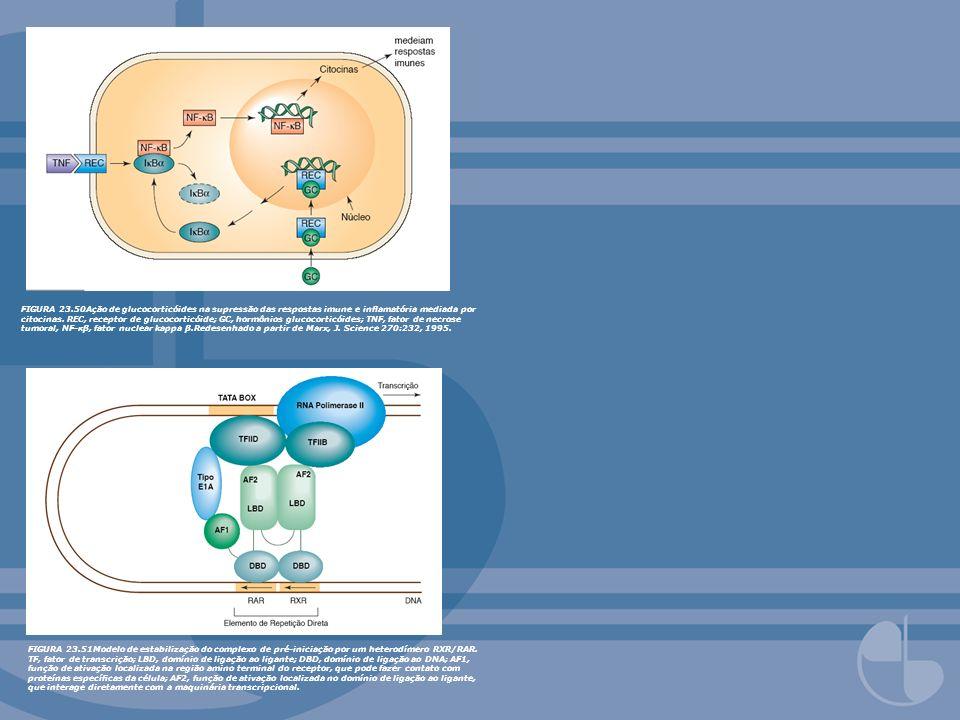 FIGURA 23.50Ação de glucocorticóides na supressão das respostas imune e inflamatória mediada por citocinas. REC, receptor de glucocorticóide; GC, hormônios glucocorticóides; TNF, fator de necrose tumoral, NF-κβ, fator nuclear kappa β.Redesenhado a partir de Marx, J. Science 270:232, 1995.