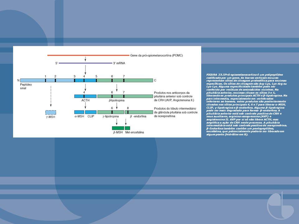 FIGURA 23.5Pró-opiomelanocortina é um polipeptídeo codificado por um gene.