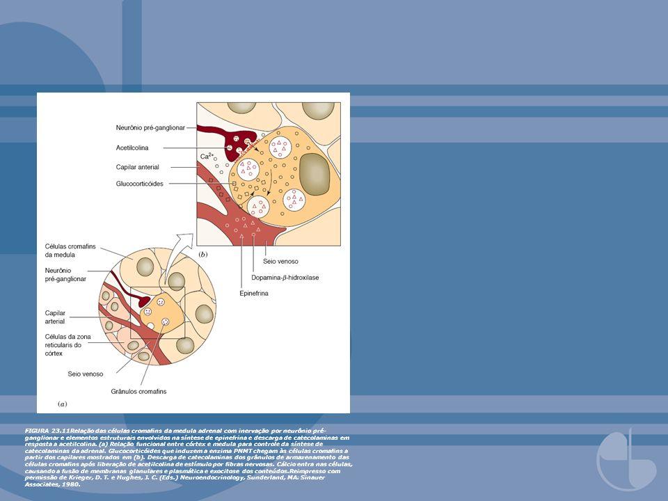 FIGURA 23.11Relação das células cromafins da medula adrenal com inervação por neurônio pré-ganglionar e elementos estruturais envolvidos na síntese de epinefrina e descarga de catecolaminas em resposta a acetilcolina.