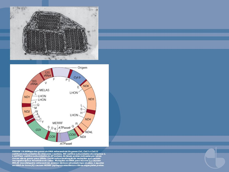 FIGURA 14. 60Mapa dos genes do DNA mitocondrial