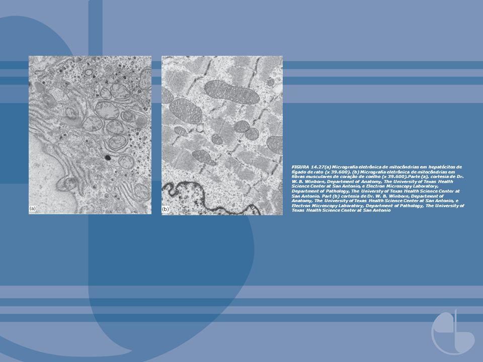 FIGURA 14.27(a) Micrografia eletrônica de mitocôndrias em hepatócitos de fígado de rato (x 39.600).