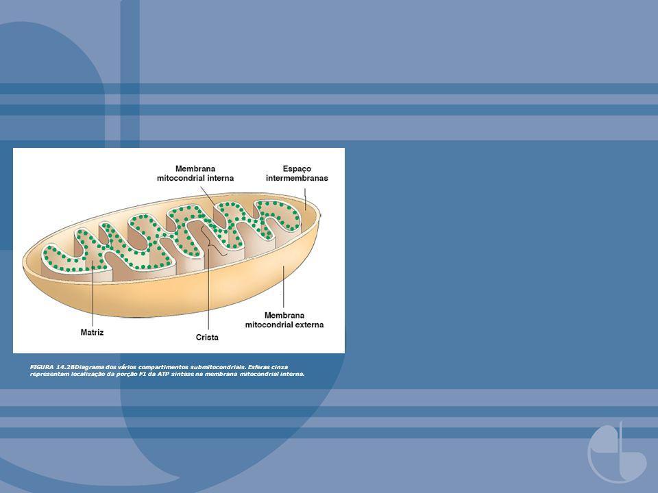 FIGURA 14. 28Diagrama dos vários compartimentos submitocondriais