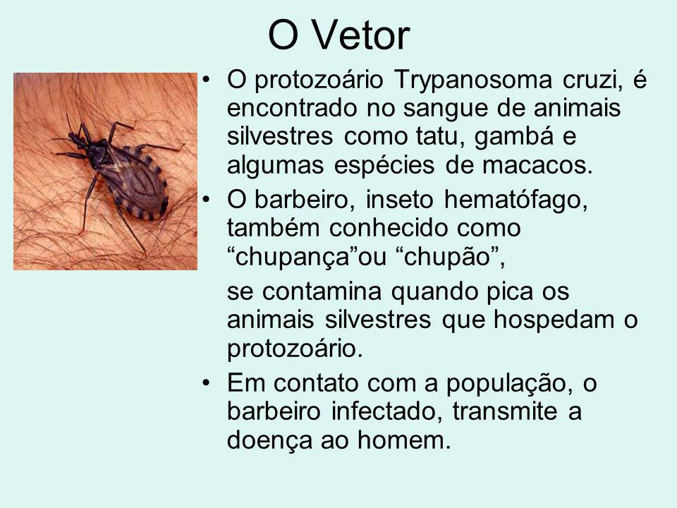 O Vetor O protozoário Trypanosoma cruzi, é encontrado no sangue de animais silvestres como tatu, gambá e algumas espécies de macacos.