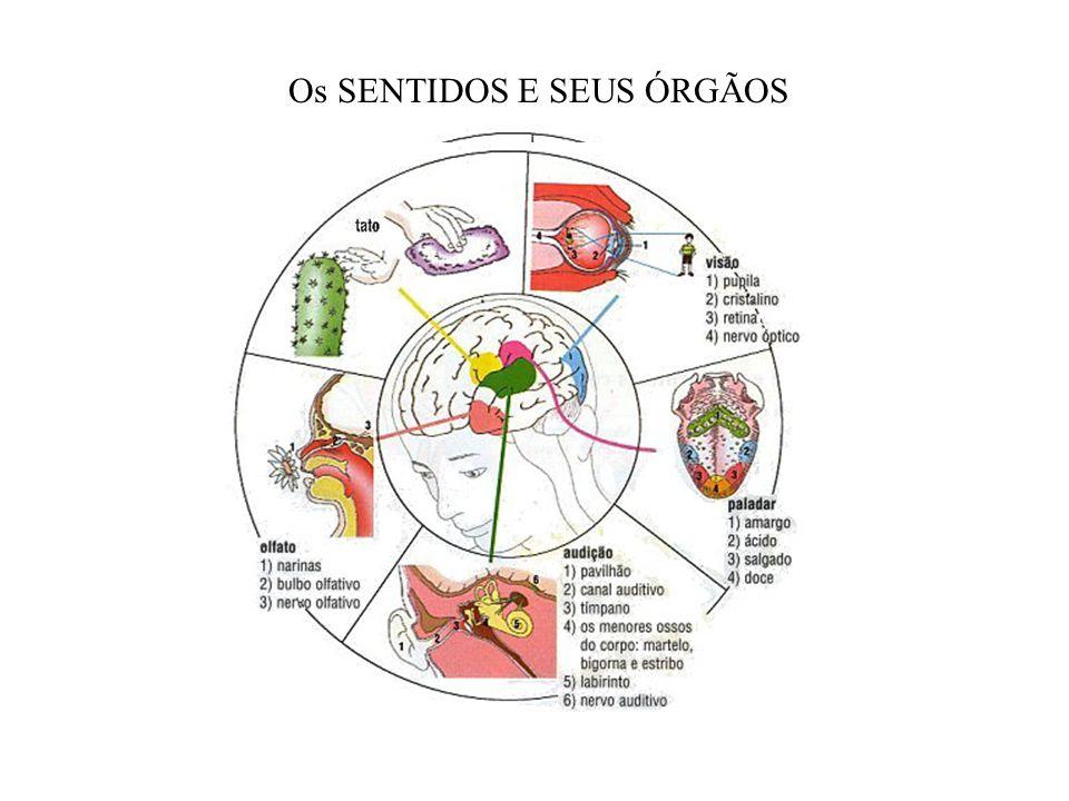 Os SENTIDOS E SEUS ÓRGÃOS
