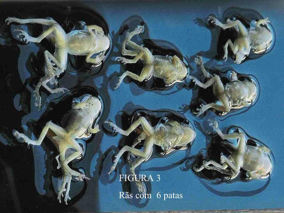 FIGURA 3 Rãs com 6 patas
