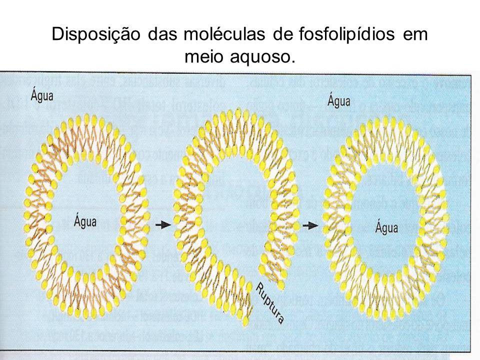 Disposição das moléculas de fosfolipídios em meio aquoso.