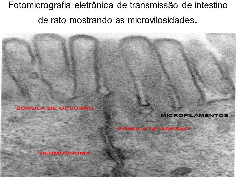 Fotomicrografia eletrônica de transmissão de intestino de rato mostrando as microvilosidades.