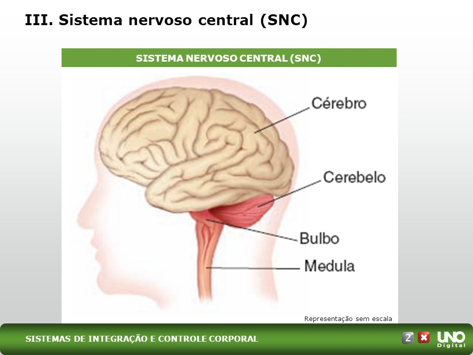 III. Sistema nervoso central (SNC)