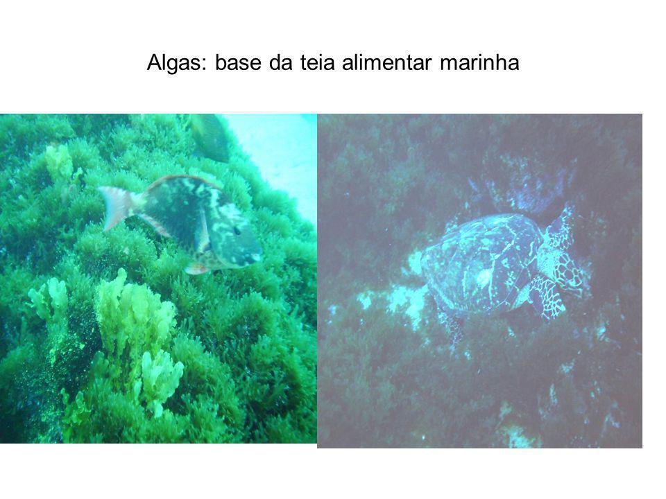 Algas: base da teia alimentar marinha