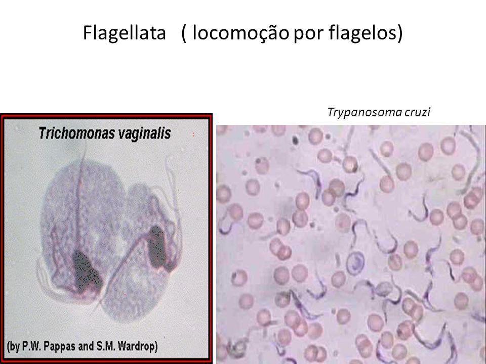 Flagellata ( locomoção por flagelos)