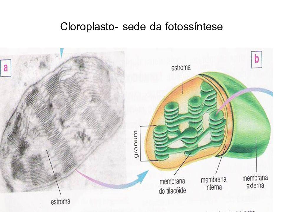 Cloroplasto- sede da fotossíntese
