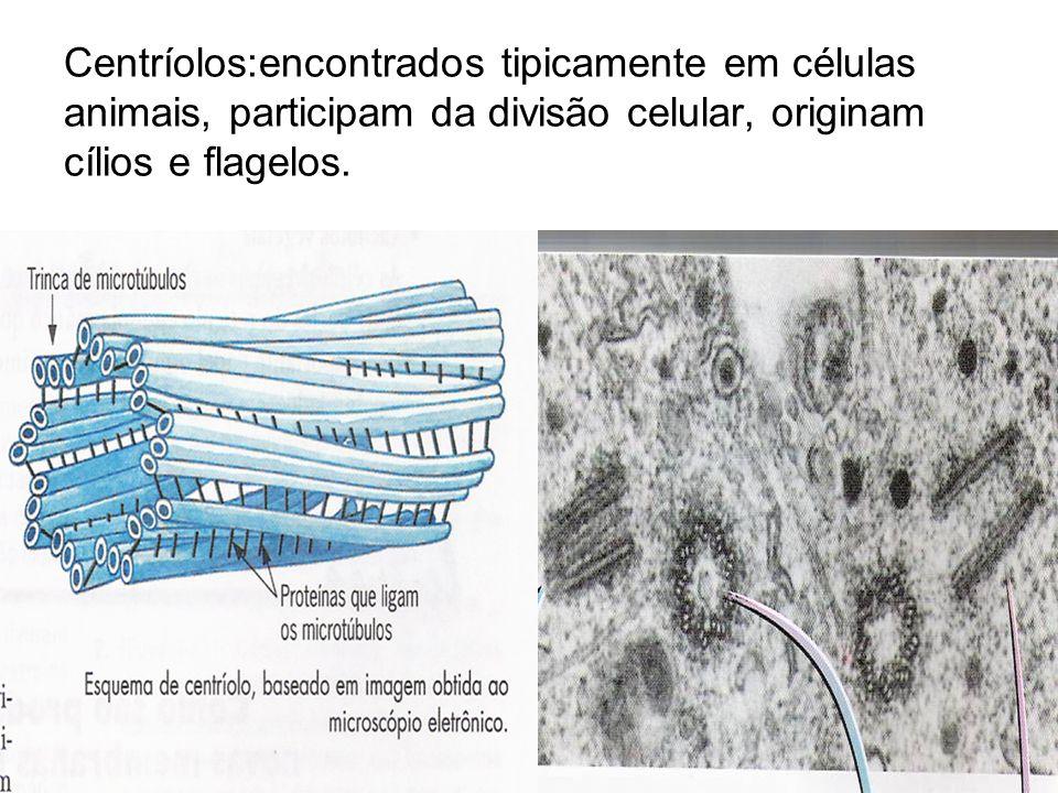Centríolos:encontrados tipicamente em células animais, participam da divisão celular, originam cílios e flagelos.