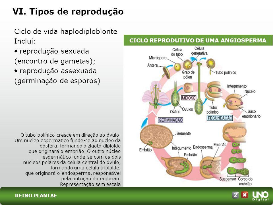 CICLO REPRODUTIVO DE UMA ANGIOSPERMA
