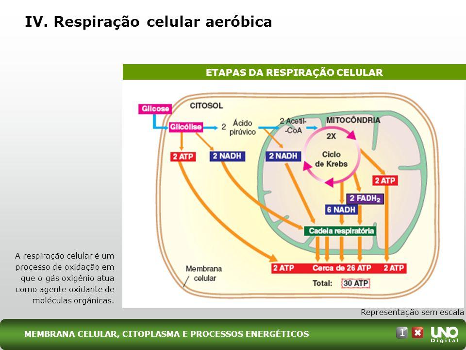 IV. Respiração celular aeróbica ETAPAS DA RESPIRAÇÃO CELULAR