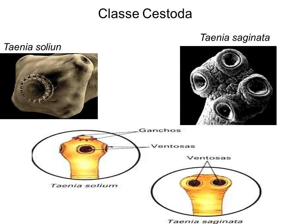 Classe Cestoda Taenia saginata Taenia soliun
