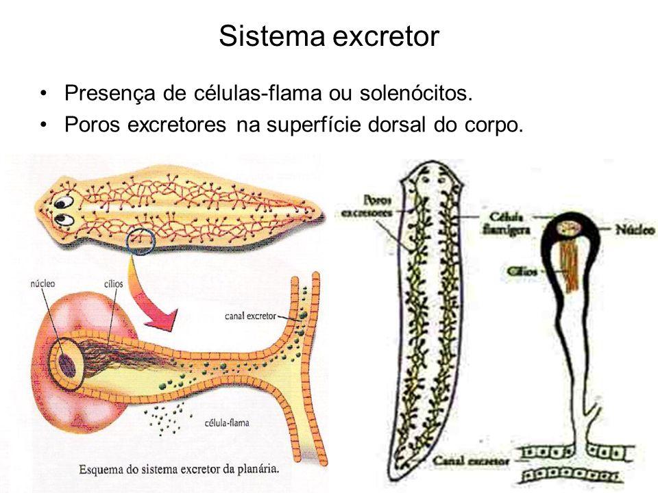 Sistema excretor Presença de células-flama ou solenócitos.