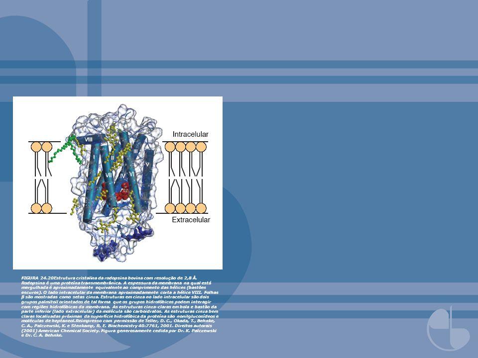 FIGURA 24.20Estrutura cristalina da rodopsina bovina com resolução de 2,8 Å.
