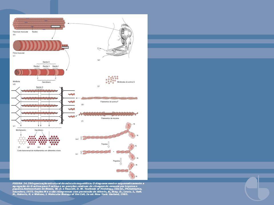 FIGURA 24. 29Organização estrutural do músculo esquelético