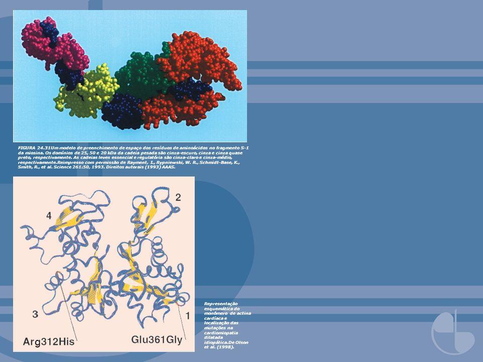 FIGURA 24.31Um modelo de preenchimento de espaço dos resíduos de aminoácidos no fragmento S-1 da miosina. Os domínios de 25, 50 e 20 kDa da cadeia pesada são cinza-escuro, cinza e cinza quase preto, respectivamente. As cadeias leves essencial e regulatória são cinza-claro e cinza-médio, respectivamente.Reimpresso com permissão de Rayment, I., Rypniewski, W. R., Schmidt-Base, K., Smith, R., et al. Science 261:50, 1993. Direitos autorais (1993) AAAS.