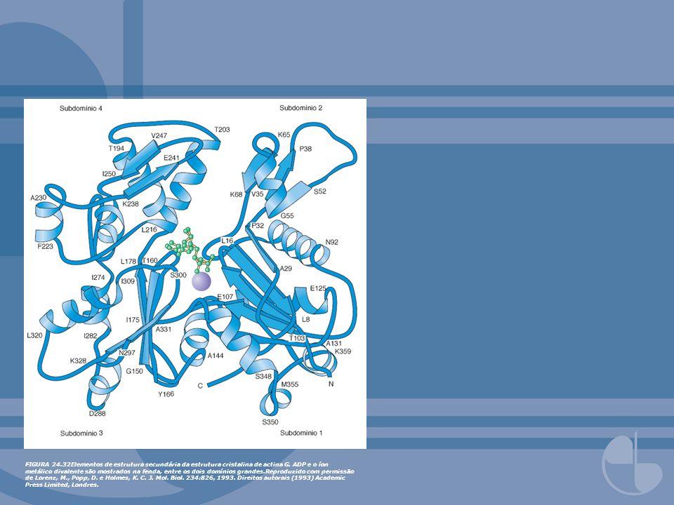 FIGURA 24.32Elementos de estrutura secundária da estrutura cristalina de actina G.