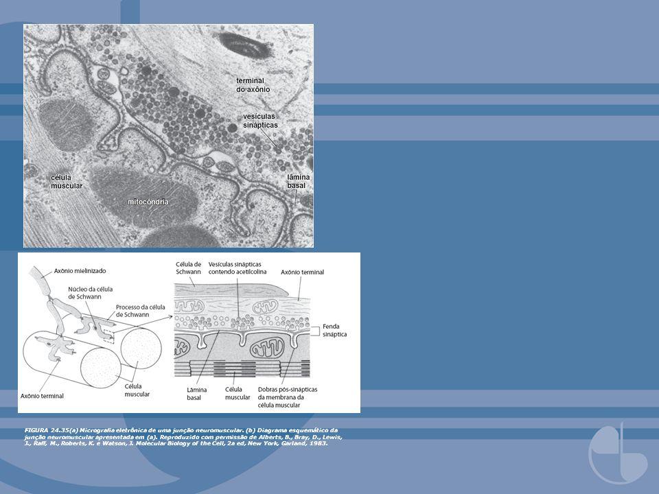 FIGURA 24. 35(a) Micrografia eletrônica de uma junção neuromuscular