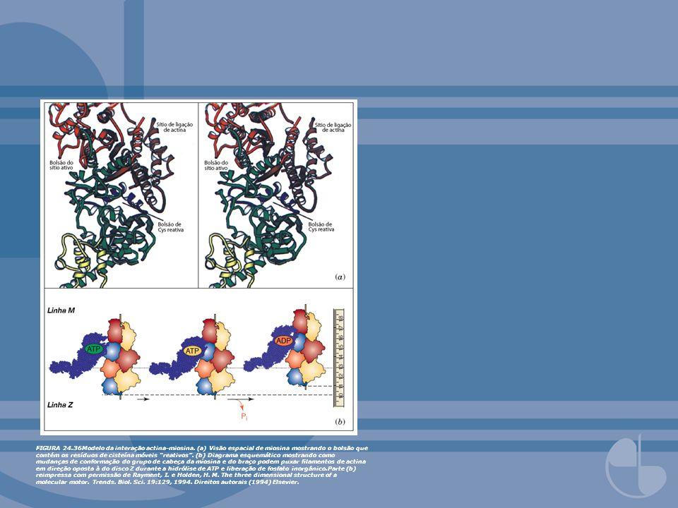 FIGURA 24. 36Modelo da interação actina-miosina