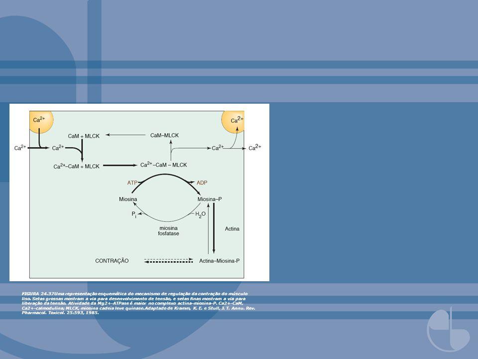 FIGURA 24.37Uma representação esquemática do mecanismo de regulação da contração do músculo liso.