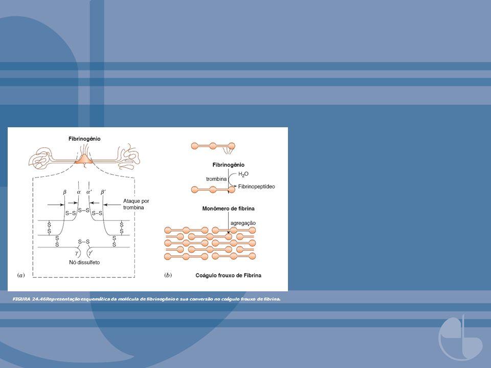FIGURA 24.46Representação esquemática da molécula de fibrinogênio e sua conversão no coágulo frouxo de fibrina.