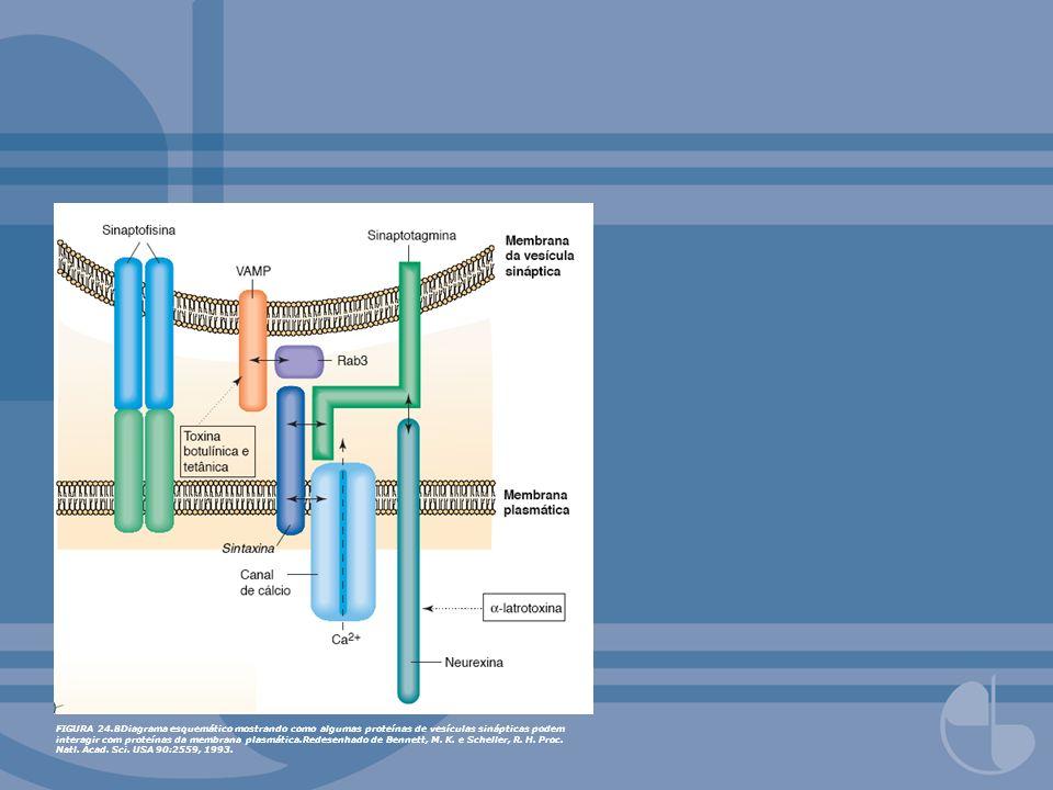 FIGURA 24.8Diagrama esquemático mostrando como algumas proteínas de vesículas sinápticas podem interagir com proteínas da membrana plasmática.Redesenhado de Bennett, M.
