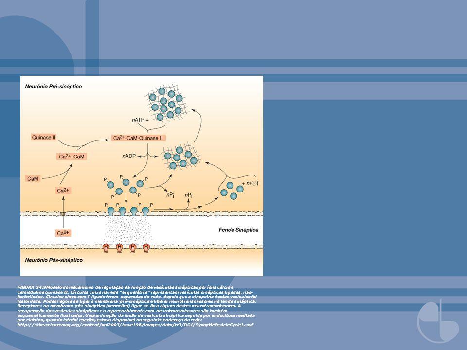 FIGURA 24.9Modelo do mecanismo de regulação da função de vesículas sinápticas por íons cálcio e calmodulina quinase II.