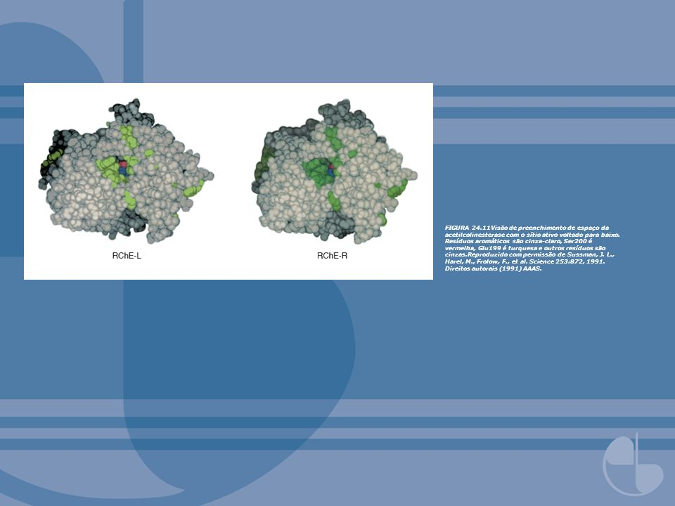 FIGURA 24.11Visão de preenchimento de espaço da acetilcolinesterase com o sítio ativo voltado para baixo.
