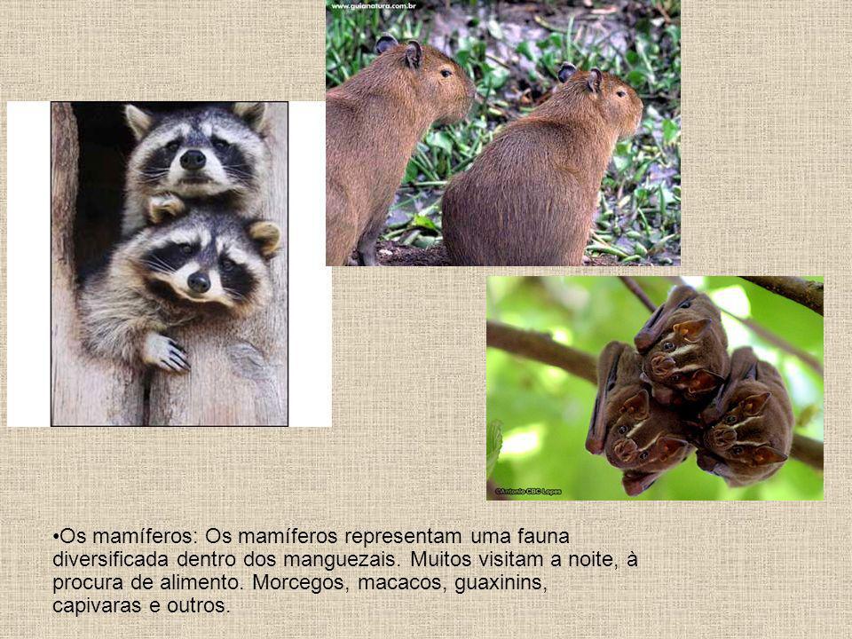 Os mamíferos: Os mamíferos representam uma fauna diversificada dentro dos manguezais.