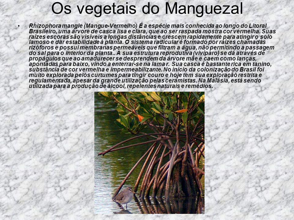 Os vegetais do Manguezal