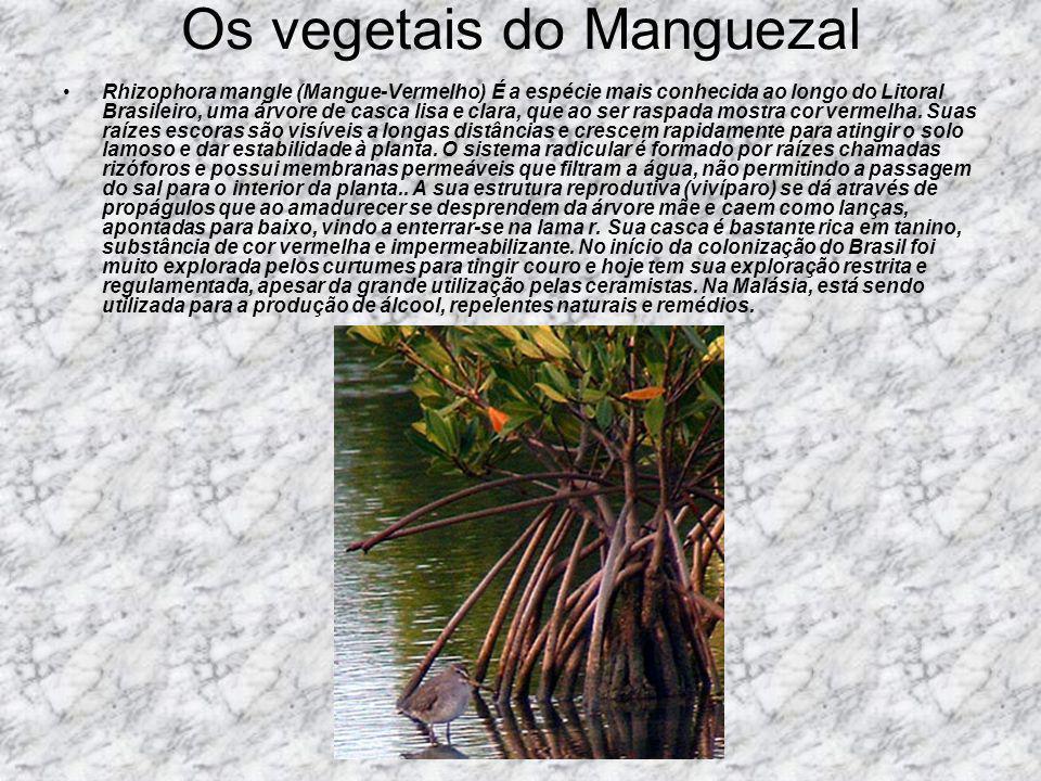 Os vegetais do Manguezal