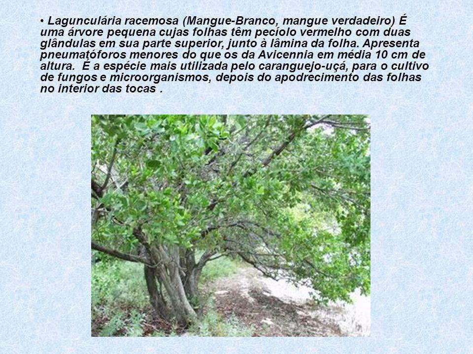 Lagunculária racemosa (Mangue-Branco, mangue verdadeiro) É uma árvore pequena cujas folhas têm pecíolo vermelho com duas glândulas em sua parte superior, junto à lâmina da folha.