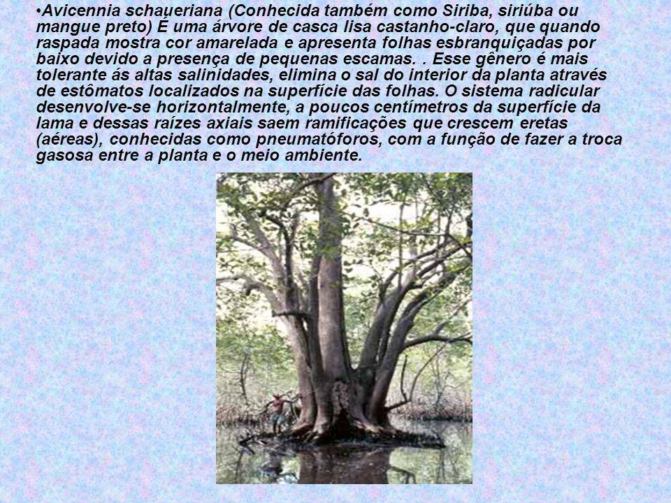 Avicennia schaueriana (Conhecida também como Siriba, siriúba ou mangue preto) É uma árvore de casca lisa castanho-claro, que quando raspada mostra cor amarelada e apresenta folhas esbranquiçadas por baixo devido a presença de pequenas escamas.