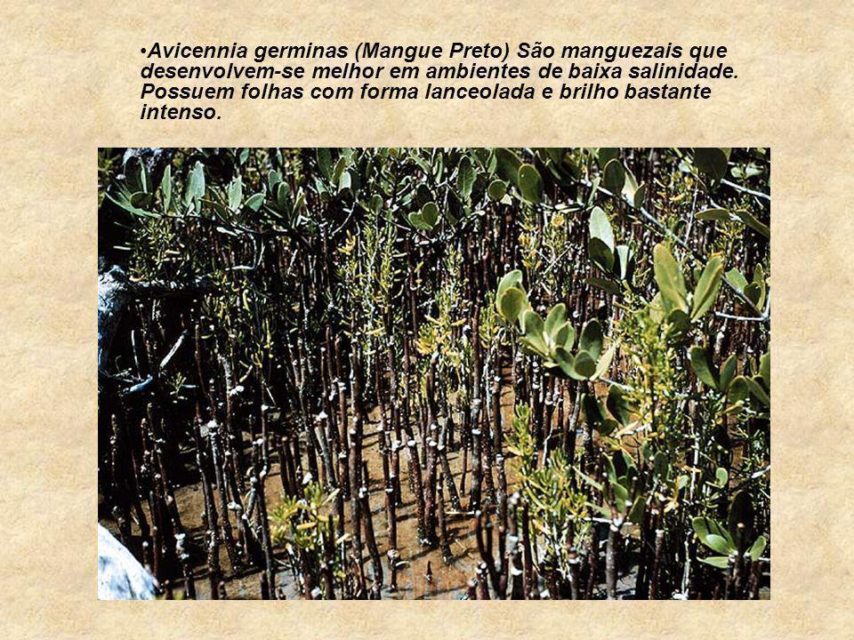 Avicennia germinas (Mangue Preto) São manguezais que desenvolvem-se melhor em ambientes de baixa salinidade.