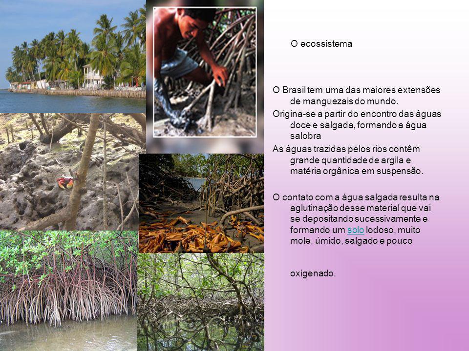 O ecossistema O Brasil tem uma das maiores extensões de manguezais do mundo.
