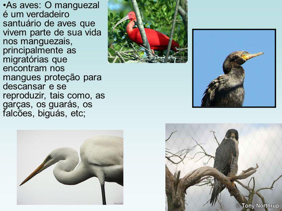 As aves: O manguezal é um verdadeiro santuário de aves que vivem parte de sua vida nos manguezais, principalmente as migratórias que encontram nos mangues proteção para descansar e se reproduzir, tais como, as garças, os guarás, os falcões, biguás, etc;