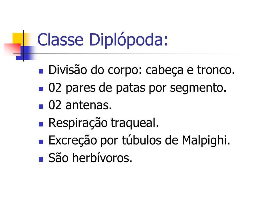Classe Diplópoda: Divisão do corpo: cabeça e tronco.