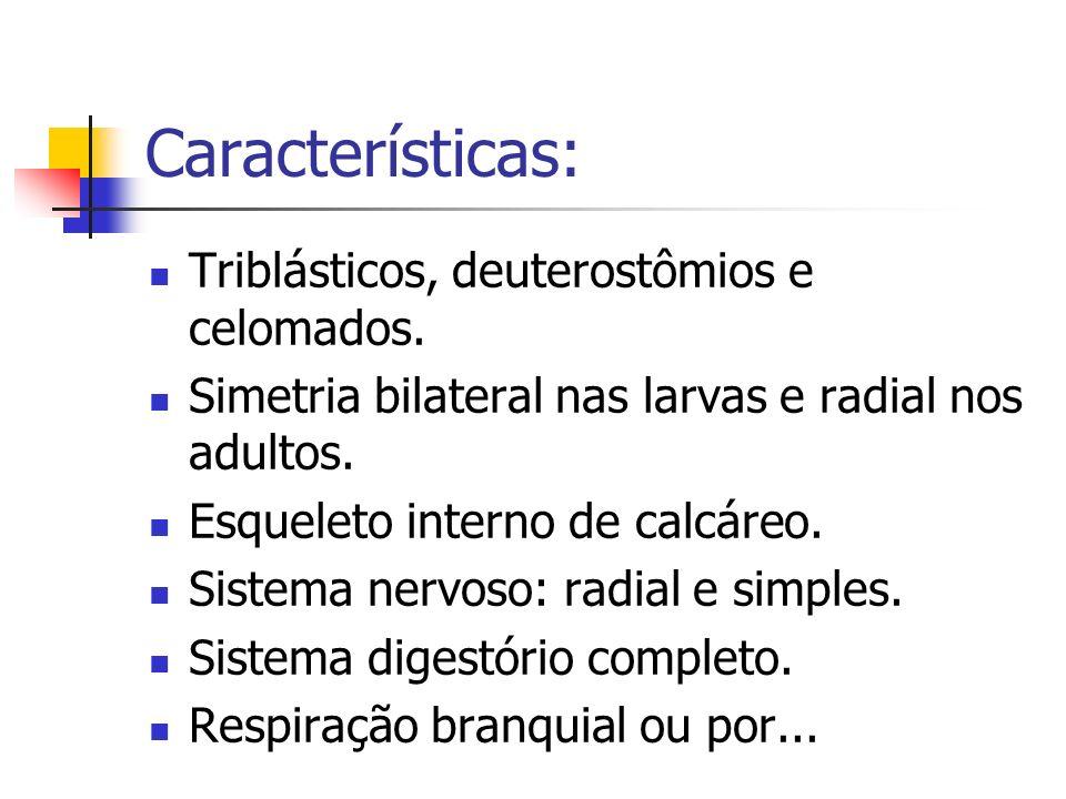 Características: Triblásticos, deuterostômios e celomados.