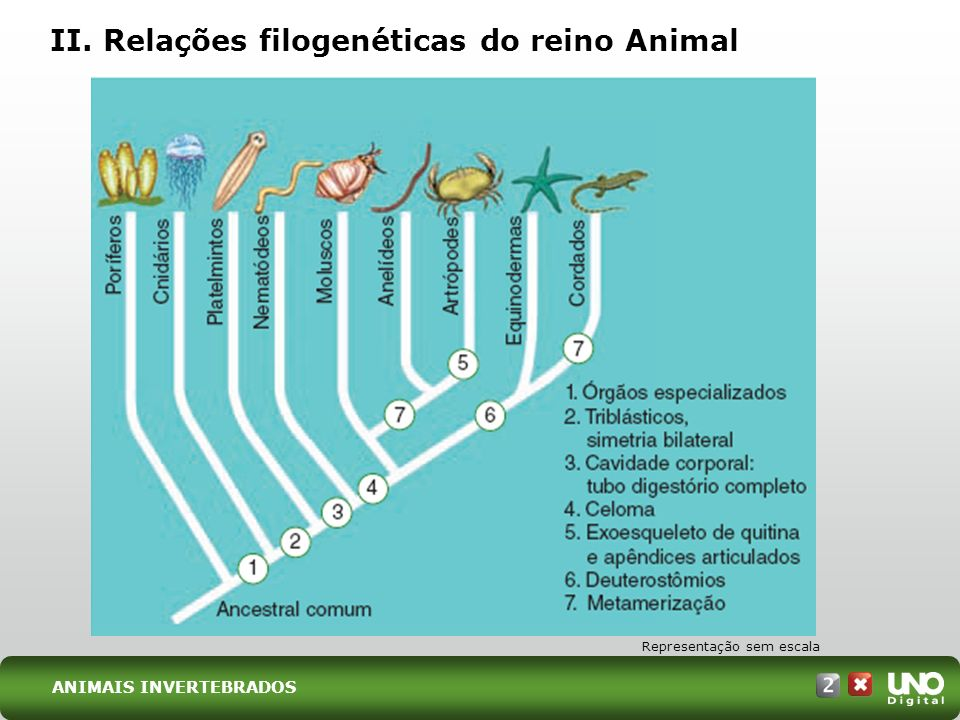 II. Relações filogenéticas do reino Animal