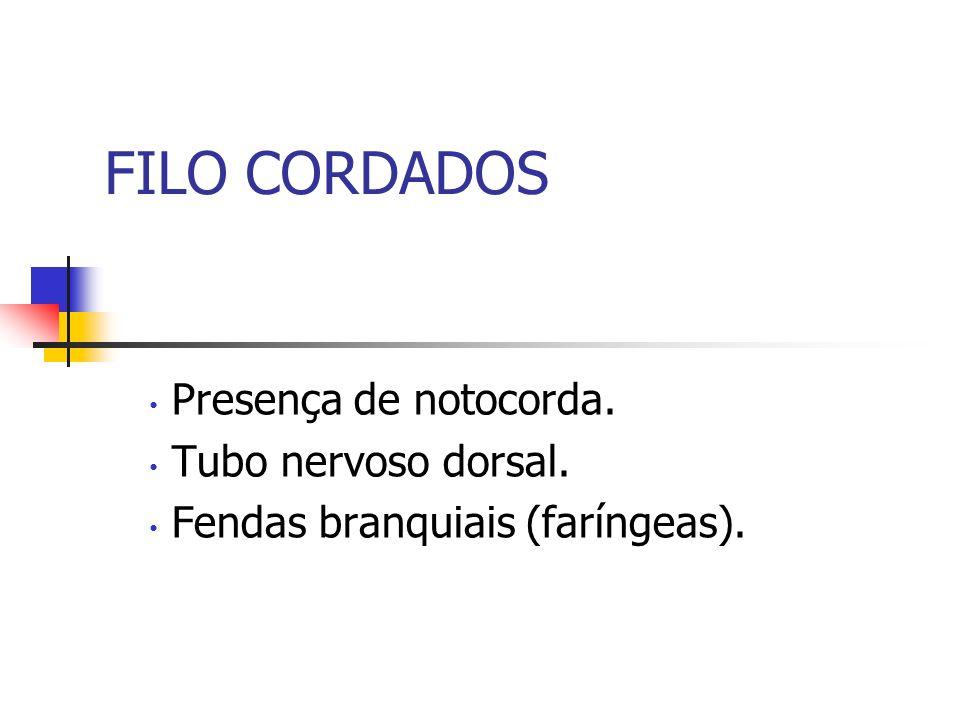 FILO CORDADOS Presença de notocorda. Tubo nervoso dorsal.